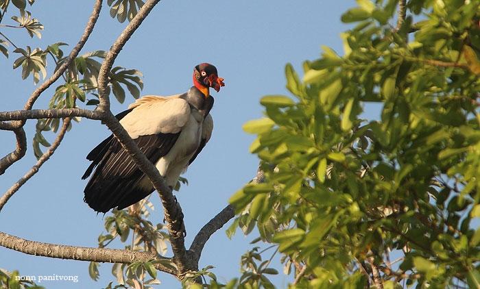 King Vulture (Sarcoramphus papa) ตัวหายาก หนึ่งในตัวเด็ดของทริปนี้