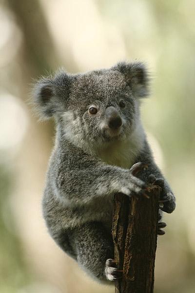 koala1.jpg