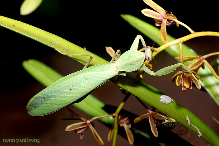 mantis_shieldbug.jpg