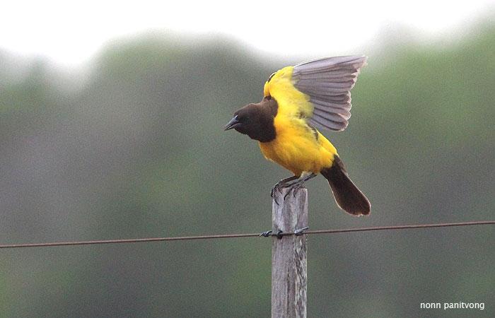 Yellow-rumped Marshbird (Pseudoleistes guirahuro)