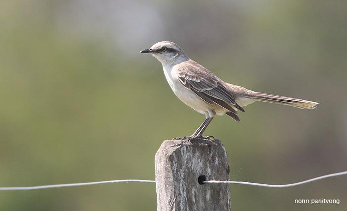 Chalk Browed Mockingbird (Mimus saturninus)