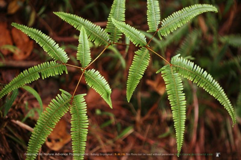 ชื่อไทย: โชน, กูดปี๊ด, กูดหมึก, กูดแต้ม ชื่อวิทยาศาสตร์: Dicranopteris lineris (Burm.f.) Underw. var. linearis