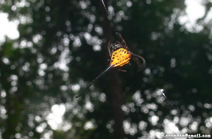 แมงมุมหลังหนามโค้งยาว Macracantha arcuata
