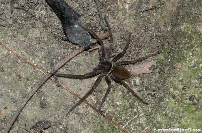 แมงมุมขายาวบ้าน (หรือป่าดี) Heteropoda sp.  เพิ่งเป็นผู้ต้องหาคดีฆ่าคนตายที่ภูเก็ต แต่น่าจะพ้นข้อหาแล้ว