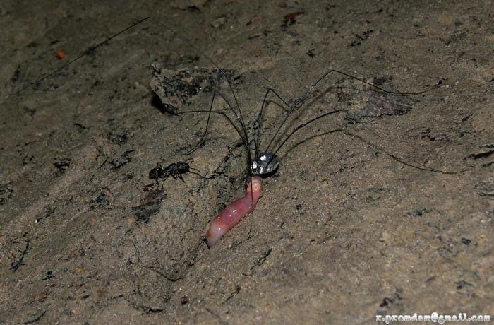 แมงโหย่ง ใช้ขาคู่หน้ายาวๆของมันสัมผัสหาอาหารแทนหนวด ไปเจอซากไส้เดือนเข้า