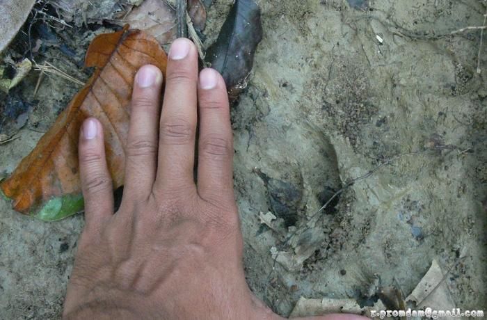 กีบเป็นรอยทางขวามือนะครับ ทางซ้ายน่ะมือผม ถ่ายมาไว้เทียบขนาด