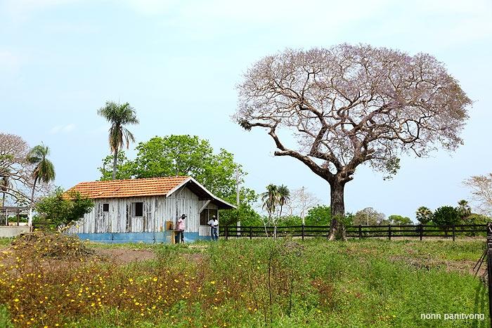 """อีกมุม ต้นไม้ที่เห็นคือต้นที่เราเรียกว่า """"ศรีตรัง"""" ในไทยครับ ดอกสีม่วงสวยมาก เสียดายตอนไปมันเริ่มโรยๆเสียแล้ว"""