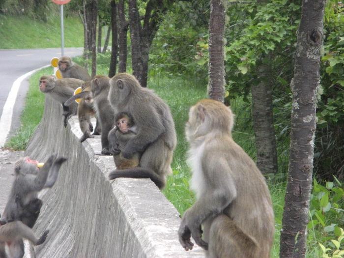 ฝูงลิงรออาหารจากนักท่องเที่ยว.jpg