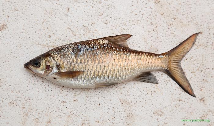 ปลาจาดสด ควักมาจากครัวชาวบ้าน ไม่ทราบว่าเป็น Poropuntius ชนิดใด?
