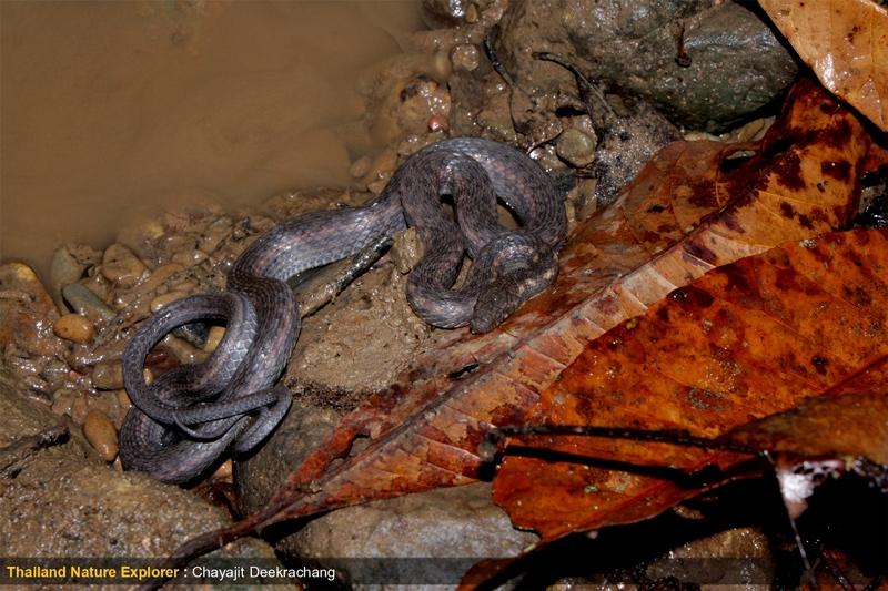 งูลายสาบท้องสามขีด Amphiesma deschauenseei  เข้าคราบสีหม่นๆ