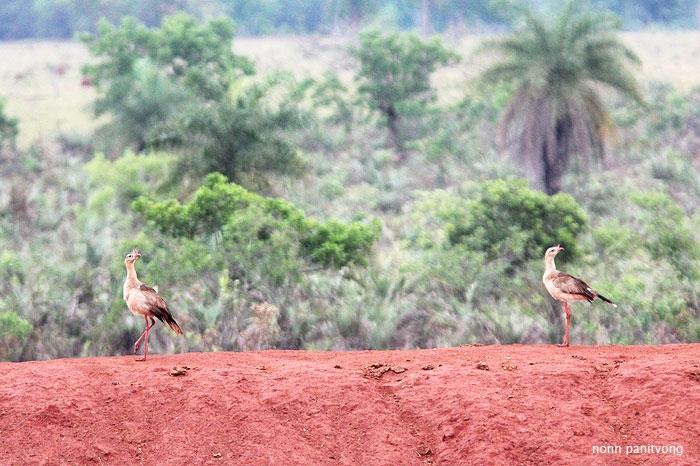 Red-legged Seriema (Cariama cristata) เจ้านี้ตัวใหญ่เหมือนกัน วิ่งไปวิ่งมา ไม่ค่อยบินหนี