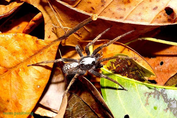 Wondering spider ชนิดใด?