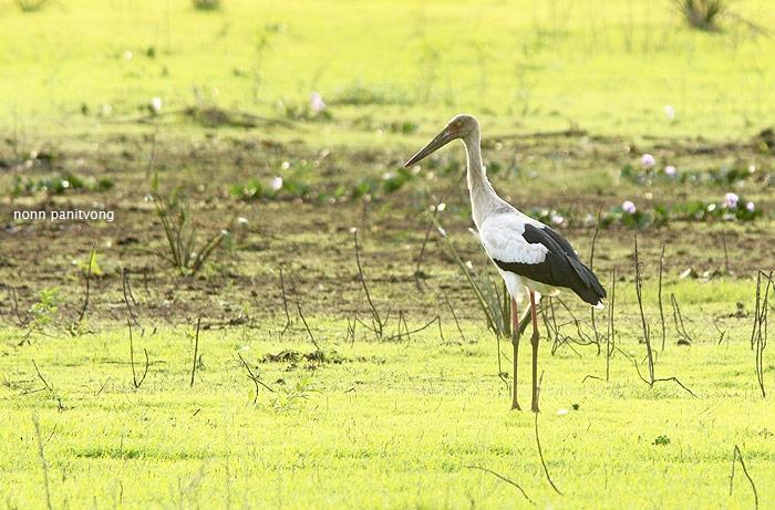 Maguari Stork (Ciconia maguari)