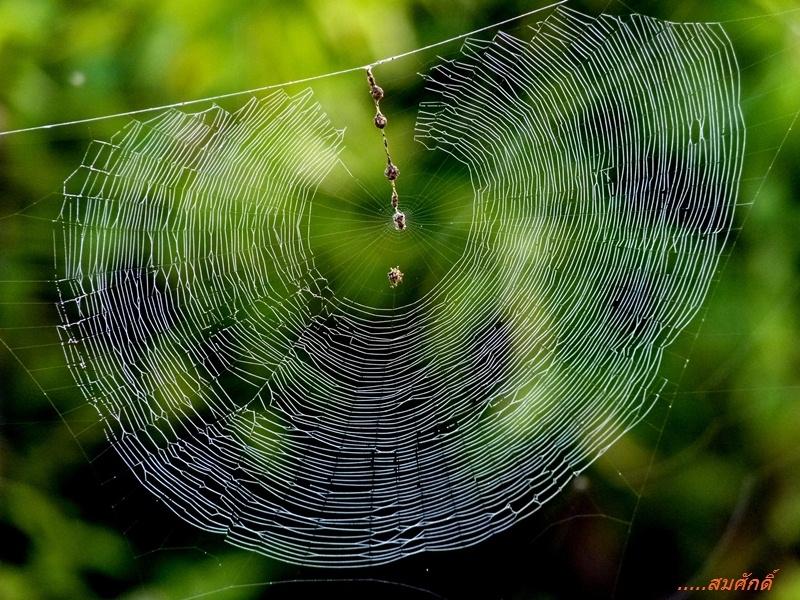 แมงมุม