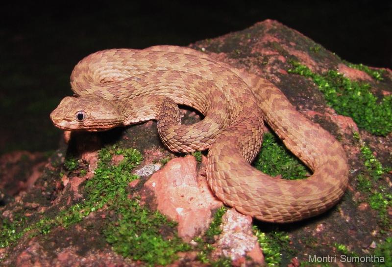 trimeresurus_kanburiensis2.jpg