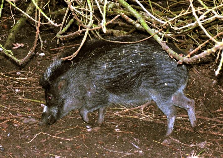 Visayan Warty Pig, Sus cebifrons,
