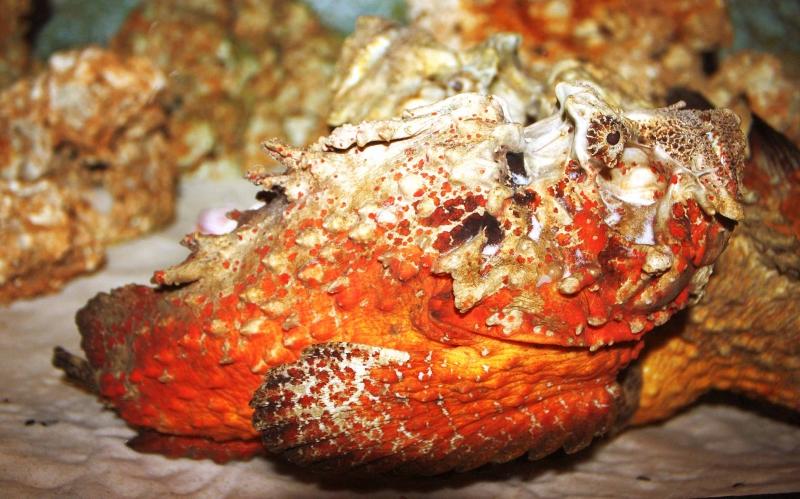ปลากะรังหัวโขน Synancea horrida