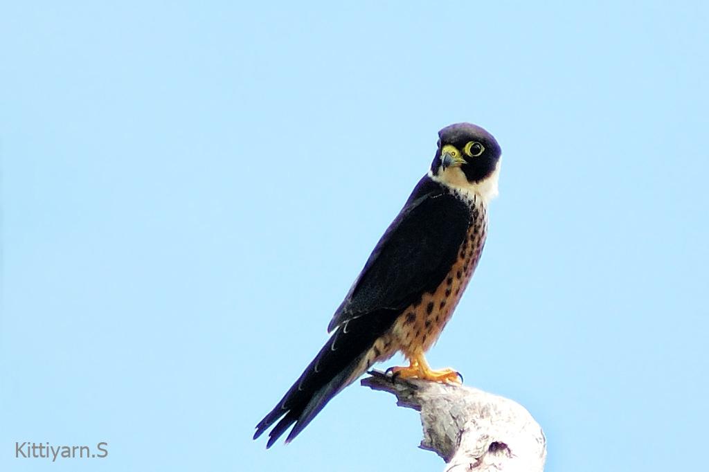 Falconiformes. sub Falconidae - sub fam Falconinae - gênero Falco - Página 3 Oriental_hobby_phanoenthung_01