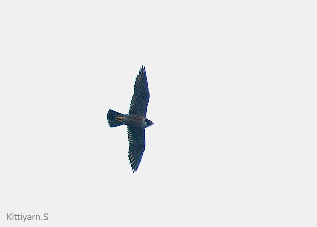 Falconiformes. sub Falconidae - sub fam Falconinae - gênero Falco - Página 3 Unknown-hawk-14_0